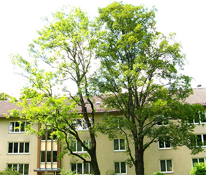 Baumschnitt Urban Münchner Baumpflege